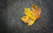 Fall Leaf 225x140 .jpg